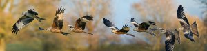 red_kite_sequence_by_jamie_macarthur-d5npsy5